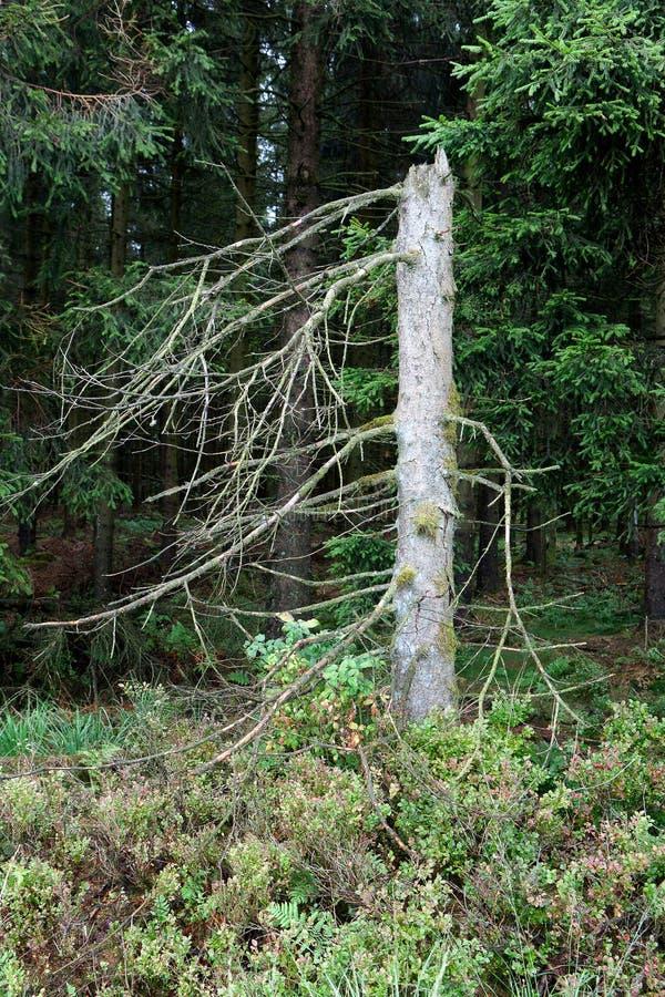 Van de boomstam het Hoge Moerassen van de pijnboomboom landschap Botrange België royalty-vrije stock foto