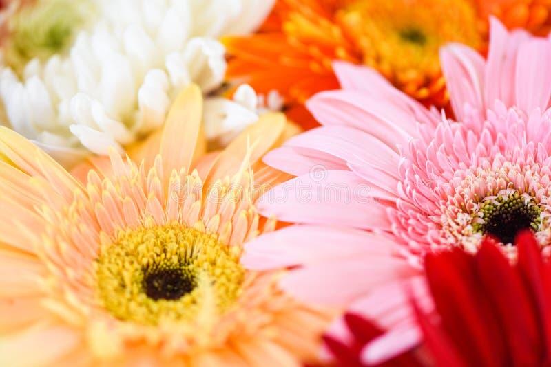 van de de bosinstallatie van de lentebloemen van de gerberachrysant kleurrijke de bloemachtergrond royalty-vrije stock afbeelding