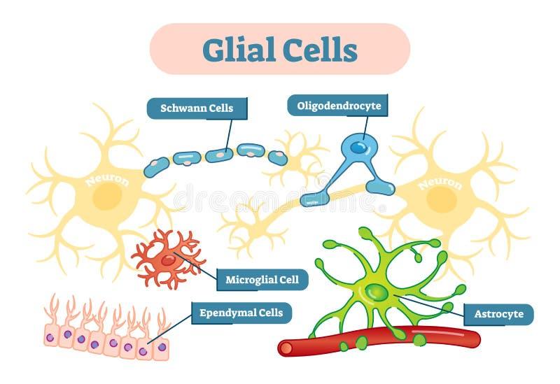 Van de de cellen het vectorillustratie van zenuwstelselglial schematische diagram vector illustratie