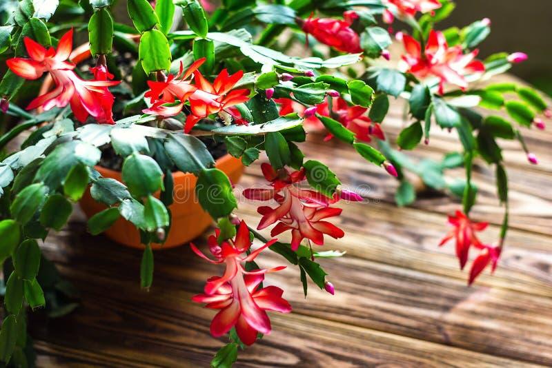 Van de de Dankzeggingscactus van de Kerstmiscactus van de de krabvakantie van de cactusschlumbergera Truncata van de zygocactus g royalty-vrije stock foto's