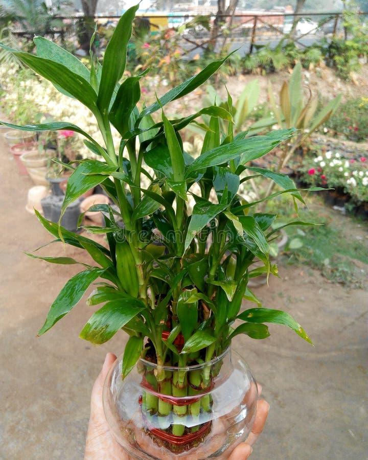 Van de de aardliefde van de bamboeboom groene het gelukfotografie royalty-vrije stock foto