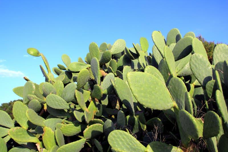 Van de de cactusinstallatie van Chumbera de nopal blauwe hemel royalty-vrije stock foto's