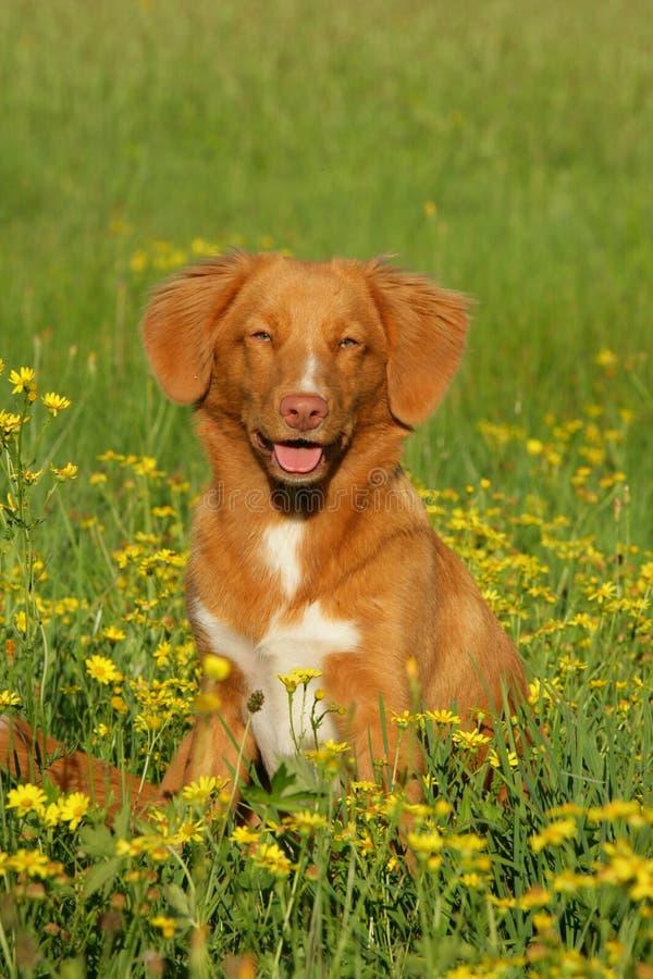Van de de eendtol van Nova Scotia de zitting van de de retrieverhond op een bloemgebied royalty-vrije stock foto's