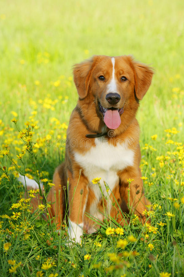 Van de de eendtol van Nova Scotia de zitting van de de retrieverhond op een bloemgebied stock afbeelding