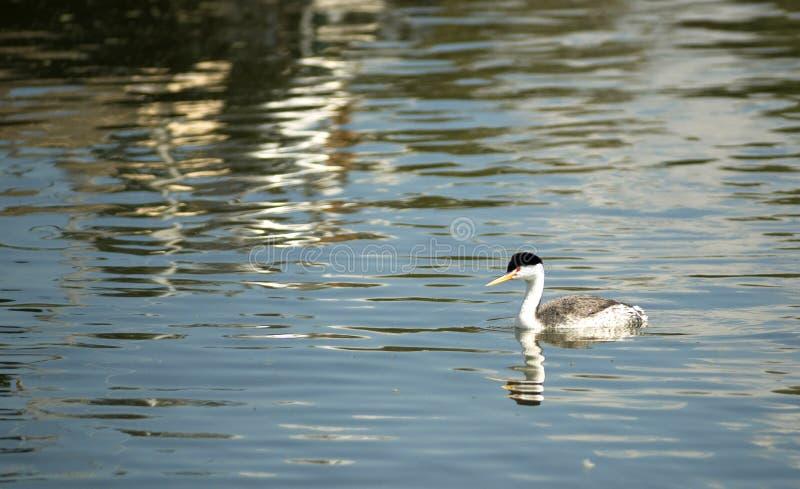 Van de de Fuutvogel van Clark van het Wildklamath het Meer Oregon royalty-vrije stock fotografie