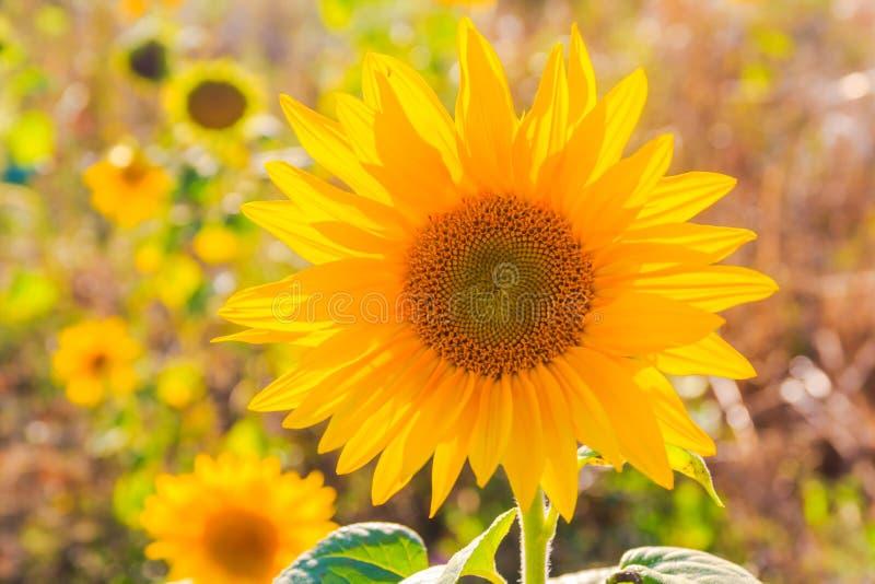 Van de de zomerclose-up van gebiedszonnebloemen mooie gele de bloemzon royalty-vrije stock fotografie