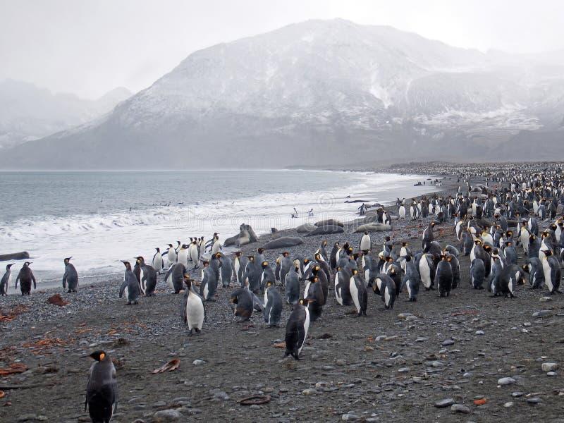 Van de de Zuid- pinguïnkolonie van de Largerstkoning Georgië stock afbeelding