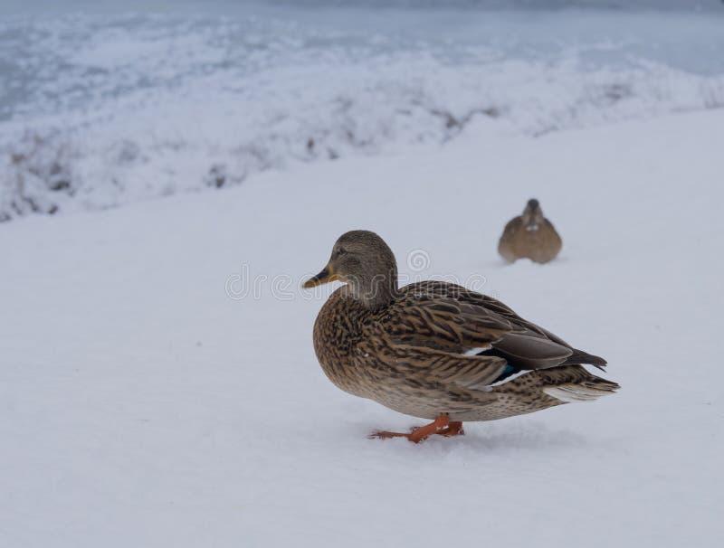 van de de eendwinter van het vogelclose-up de sneeuw koude dag stock afbeeldingen