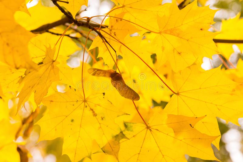 Van de esdoornbladeren van het de herfstontwerp gele van het de zonclose-up doorzichtige heldere flora als achtergrond royalty-vrije stock fotografie