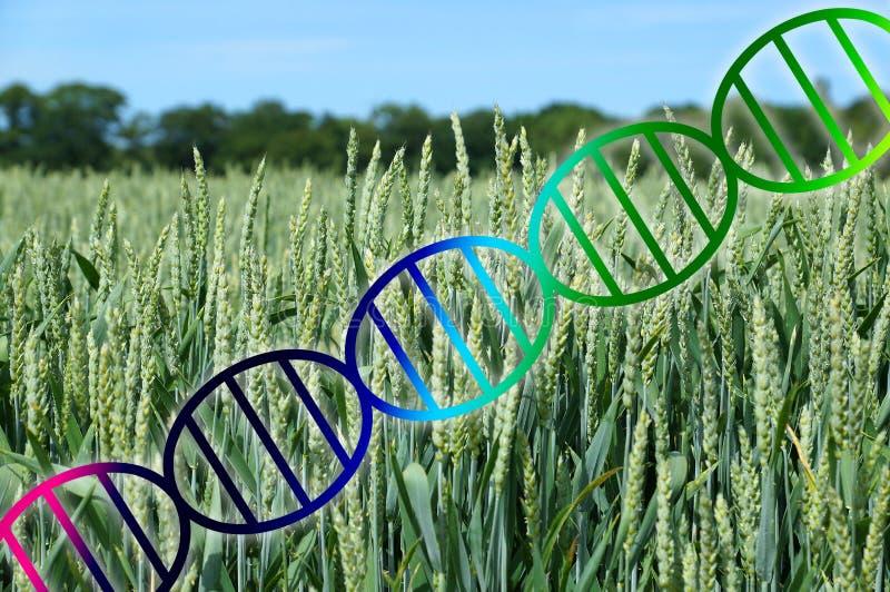 Van de genoom het uitgeven of genetische biologie de schroef van DNA over het gewas van het tarwegebied royalty-vrije stock afbeeldingen