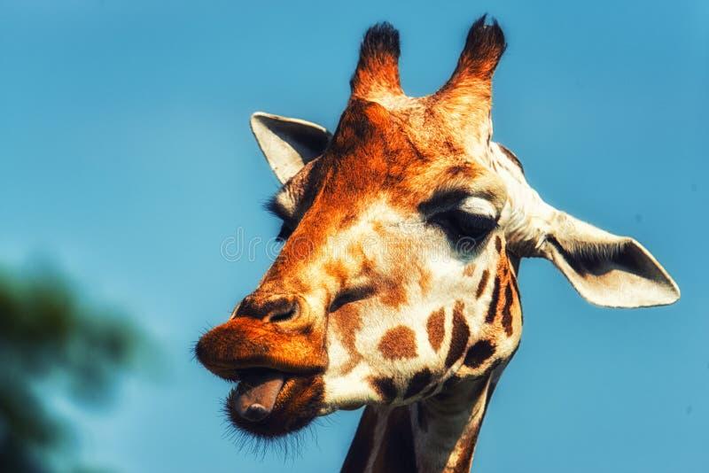 Van de girafgiraffa van Rothschild camelopardalisrothschildi royalty-vrije stock fotografie