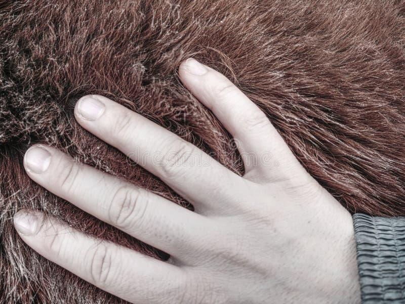 Van de de handaanraking van de Tebevrouw bont van de het paard het warme winter stock foto