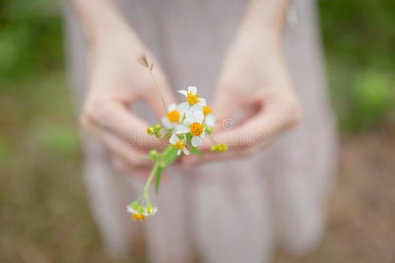 Van de de handgreep van de close-upvrouw van het de kamillegras de knopen van de de bloemlaag stock afbeelding