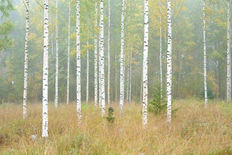 Van de de herfstbos en berk bomen stock fotografie
