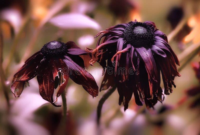 van de het close-upherfst van rudbekiabloemen de dag van de de aardtuin het vernietigen stock foto's