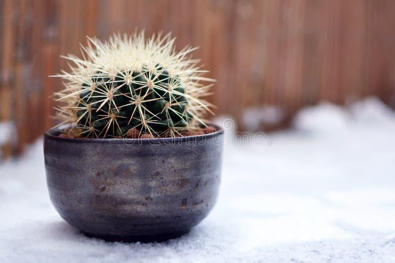 Van de het vatbal van Echinocactusgrusonii beschermt de de gouden cactus of moeder in wet in bloempot die zich in sneeuw bevinden royalty-vrije stock foto's