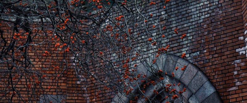 van de het vensterboom van de bakstenen muur het oude kerk close-up van de de tak rode bes stock afbeelding