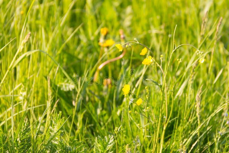 Van de het zonlichtbasis van achtergrond zonnige groene gebieds gele bloemen heldere ecorust plantaardige ontspanning royalty-vrije stock foto