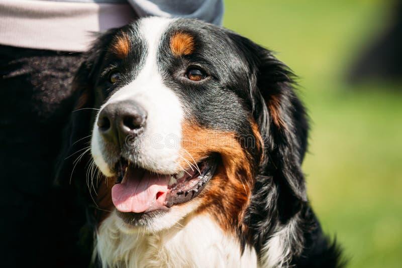 Van de Hondberner Sennenhund van de Berneseberg Dichte Omhooggaand royalty-vrije stock afbeeldingen
