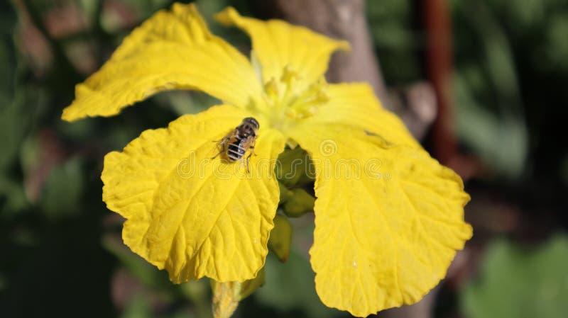 Van de de installatiebloem van de luffabezoeker de gele ochtend stock afbeeldingen