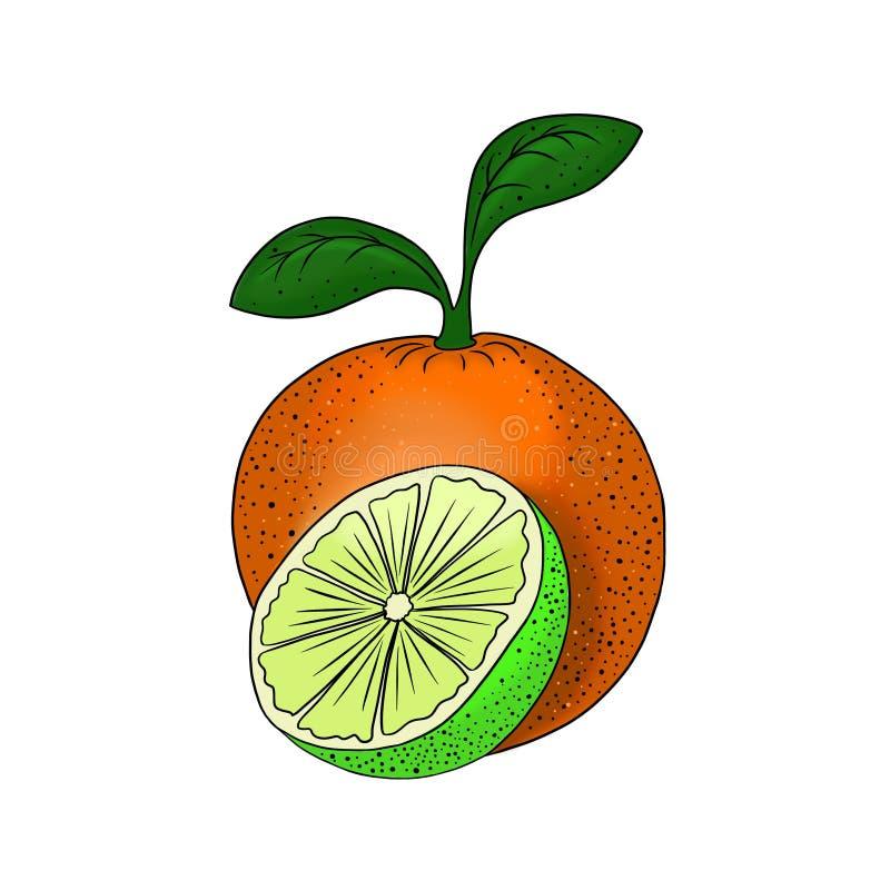 Van de de kalkillustratie van de fruitcitrusvrucht oranje vegetarisch gezond die het voedselelement voor ontwerp op witte achterg vector illustratie