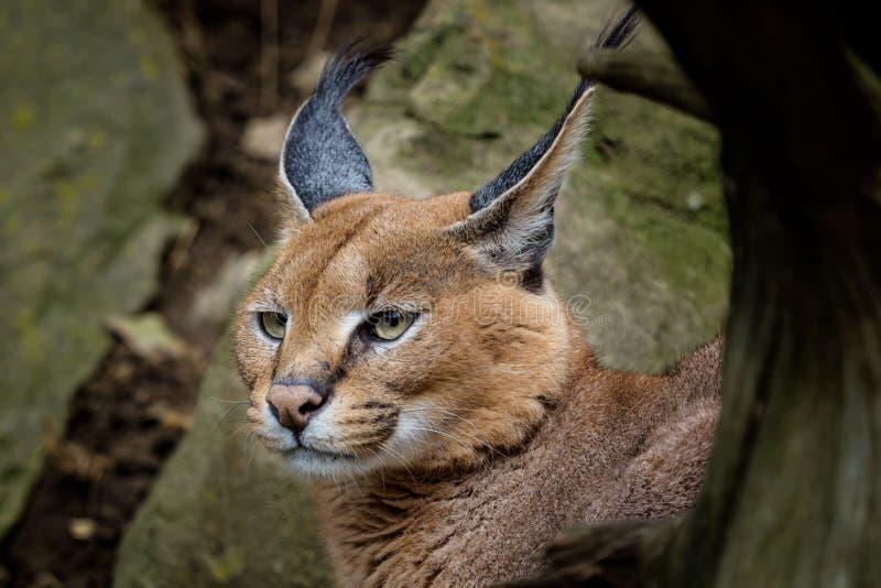 Van de kattencaracal Caracal van de portretwoestijn de caracal of Afrikaanse lynx royalty-vrije stock foto