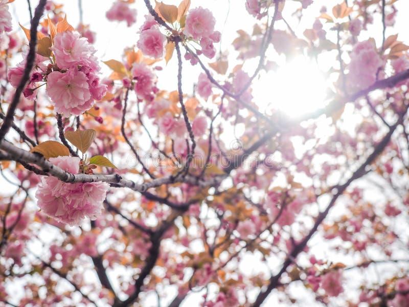 Van de kersenbloesem de boom of van Prunus serrulata het volledige bloeien in het lokale park van Japan royalty-vrije stock foto's