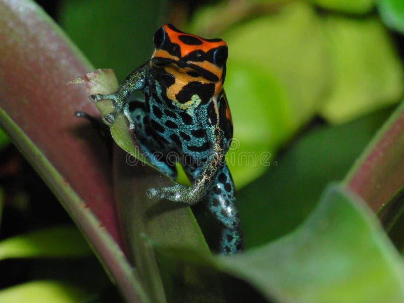 Van de kikkerranitomeya van het vergiftpijltje amazonica Iquitos op bromelia royalty-vrije stock afbeeldingen