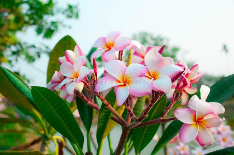 Van de de kleuren blauwe hemel van de BPlumeriabloem roze van Thailand mooie aard als achtergrond in padieveld stock fotografie