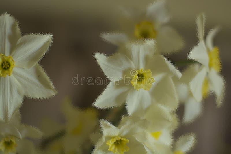 Van de de lenteprentbriefkaar van de gele narcissenochtend het licht van de de levensstijlschaduw royalty-vrije stock fotografie