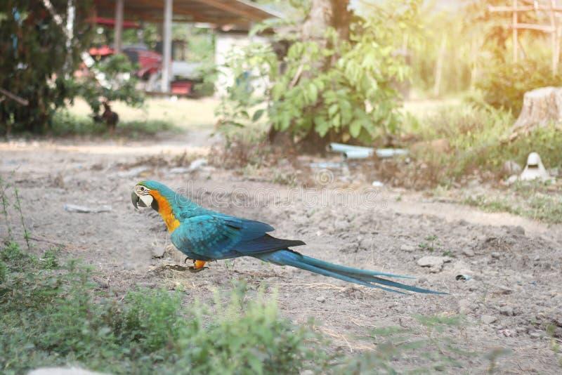 5 van de mannelijke blauwe en gele aramaanden papegaai in land royalty-vrije stock afbeelding