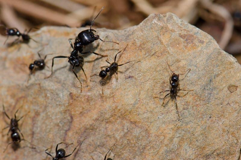 Van de militairmier en arbeider mieren royalty-vrije stock foto