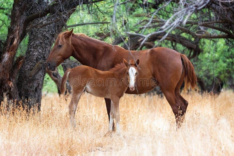 Van de moederwild paard en Baby Veulen stock afbeelding