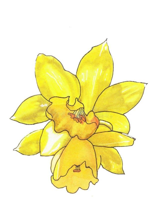 Van de de Narcissenbloem van de schets Bloemenplantkunde de tekeningenkunst op witte achtergronden Hand Getrokken Botanische Illu vector illustratie