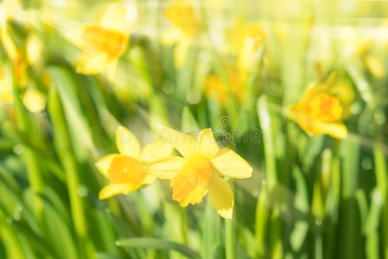 Van de narcissengele narcissen van de de lentebloesem de gele zonovergoten bloemen royalty-vrije stock afbeeldingen