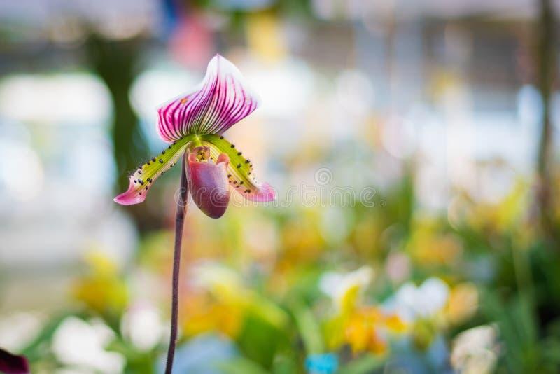 Van de de orchideebloem van de dame` s Pantoffel de purpere kleur van Paphiopedilum binnen royalty-vrije stock foto