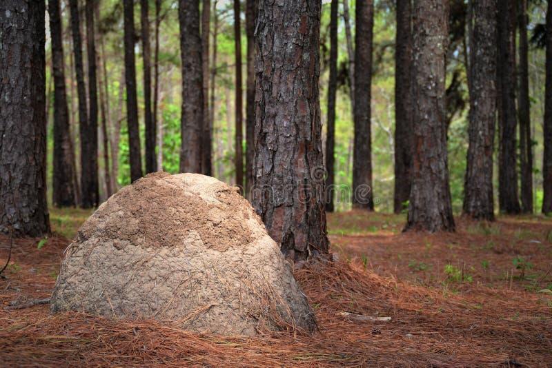 Van de pijnboomboom en termiet nesten stock foto