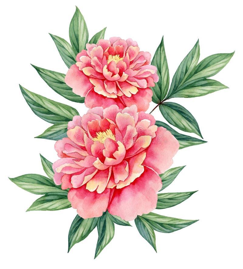 Van de pioen de roze groene bladeren van de waterverfbloem decoratieve uitstekende die illustratie op witte achtergrond wordt geï stock illustratie