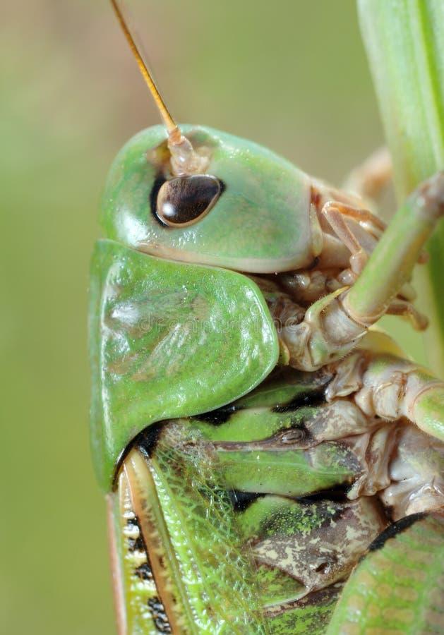 Van de sprinkhaan (Tettigonia cantans) de close-up. stock foto's