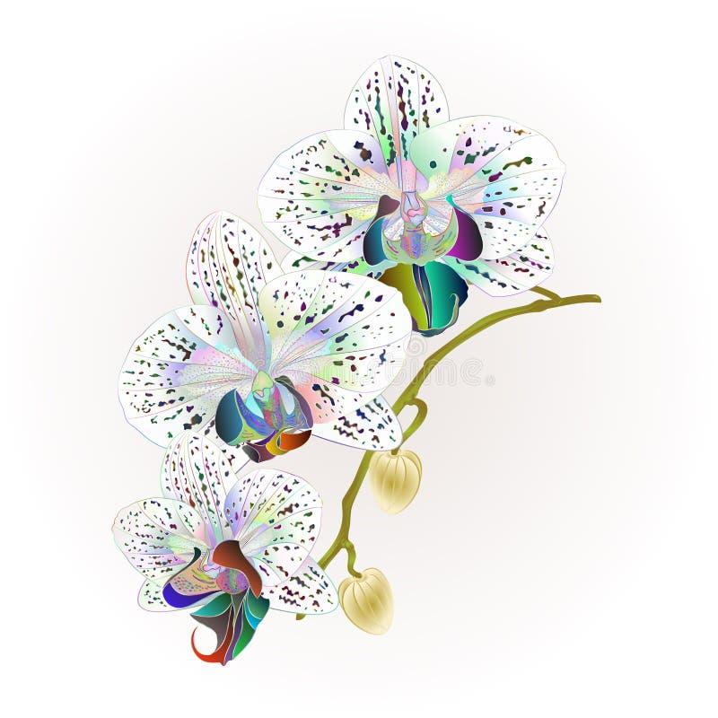 Van de Stam multi gekleurde bloemen en knoppen van orchideephalaenopsis tropische installaties uitstekende vector botanische illu vector illustratie