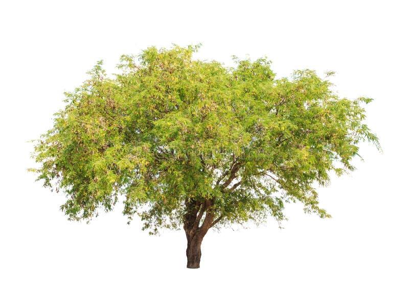 Van de tamarindeboom (Tamarindus indica) de tropische boom in Thailand stock afbeelding