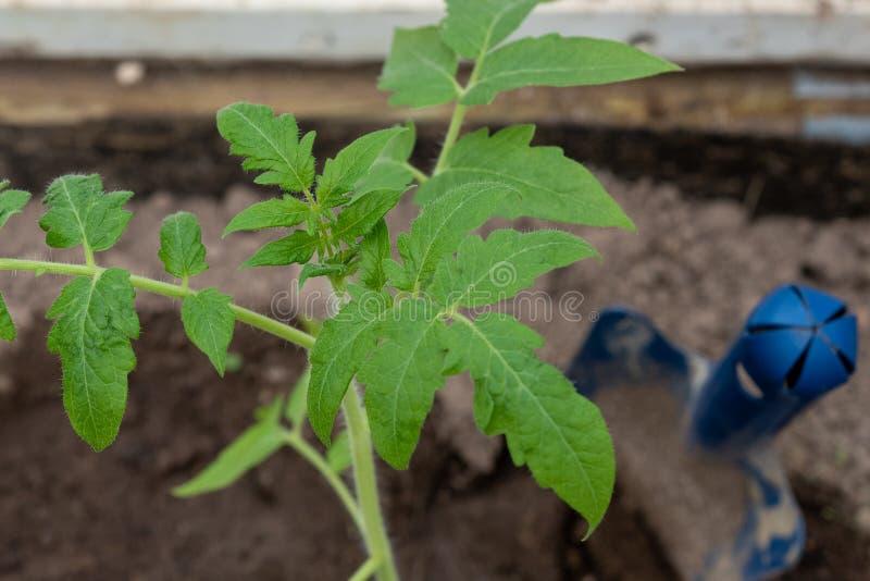 Van de tomatenzaailing en tuin hulpmiddelen Sluit omhoog Selectieve nadruk royalty-vrije stock foto's