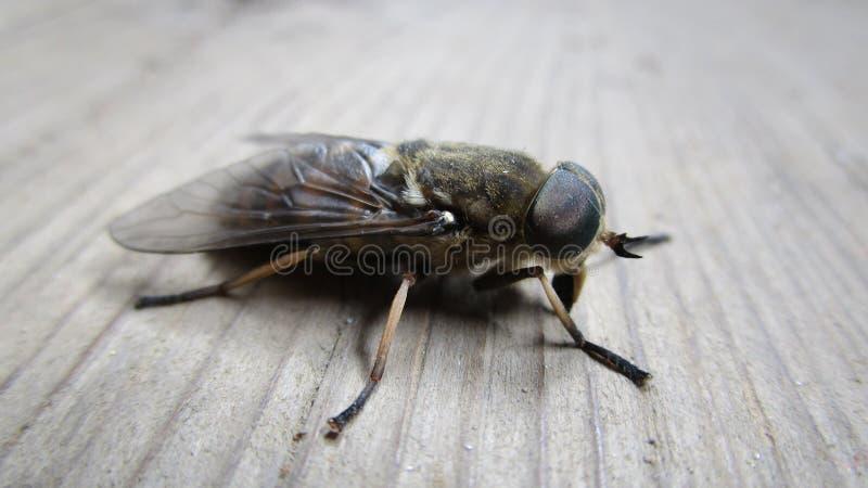 Van de de vliegaard van het paardevlieginsect blood-sucking de zomermacro stock afbeeldingen