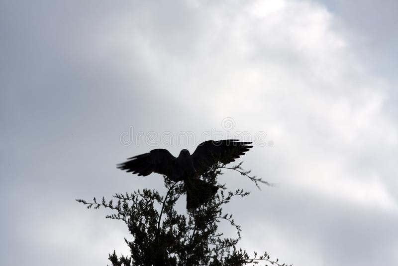 Van de Vlieger Backlit Vleugels van de Mississippi Open de Jeneverbessenboom stock foto's