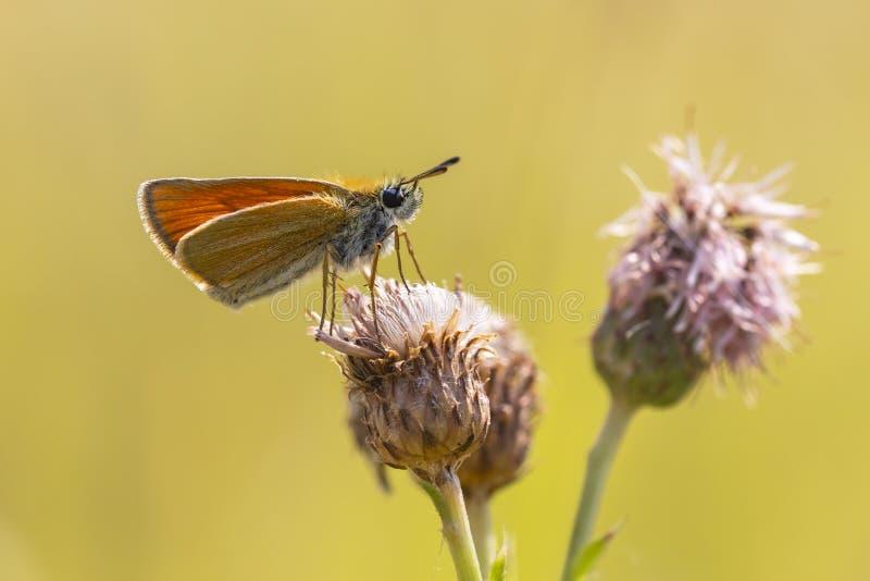 Van de vlinderthymelicus van de Essexkapitein lineola het voeden en pollina stock foto