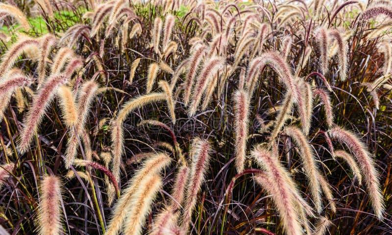 Van de de Vossestaartfontein van Pennisetumsetaceum het grasgebied royalty-vrije stock foto