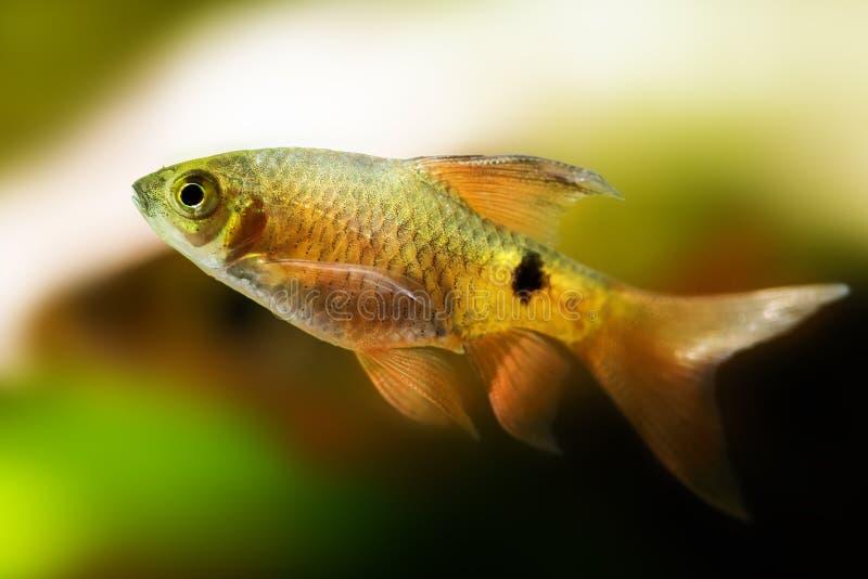 Van de weerhaakpethia Conchonius van aquariumvissen longtail de macromening Ondiepe Diepte van Gebied stock afbeeldingen