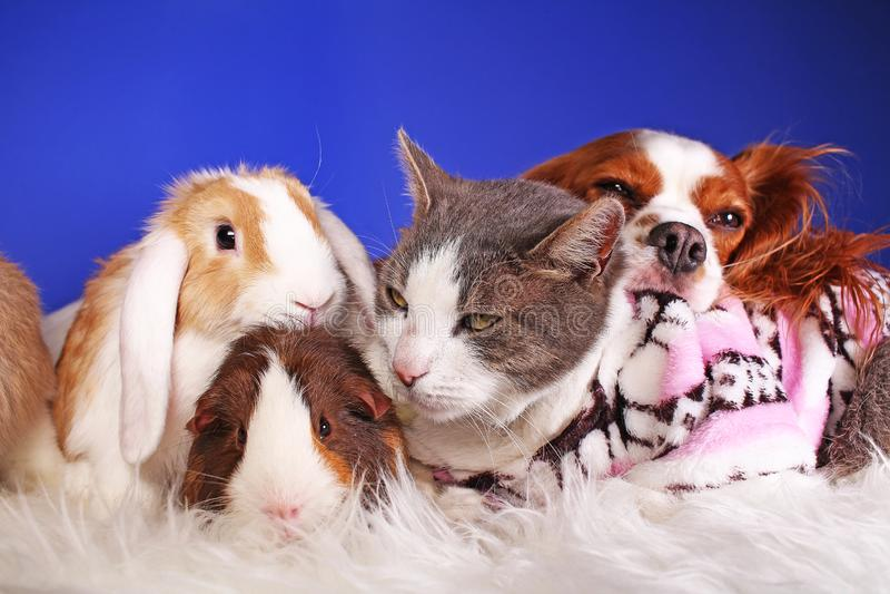 Van de winterhuisdieren van Kerstmisdieren van de de vriendenkat dierlijke het huisdieren leuke blauwe achtergrond stock foto