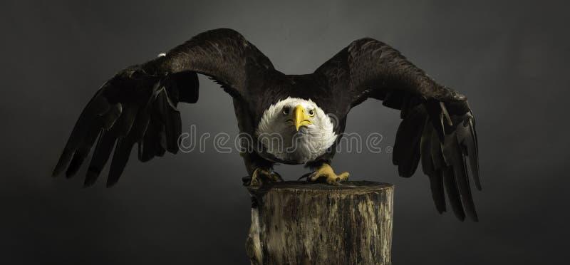 Van Eagle van het studioportret Amerikaanse Kale grijze uitgespreide vleugels als achtergrond stock afbeeldingen