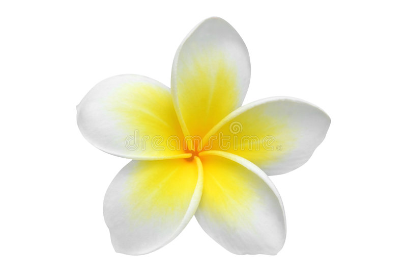 Van Frangipani (plumeria) de bloem stock afbeeldingen